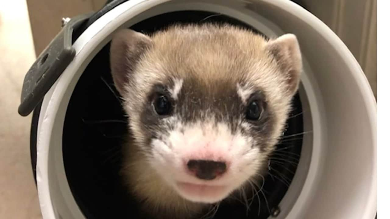 Elizabeth Ann first black-footed ferret cloned in an attempt to helped the endangered species