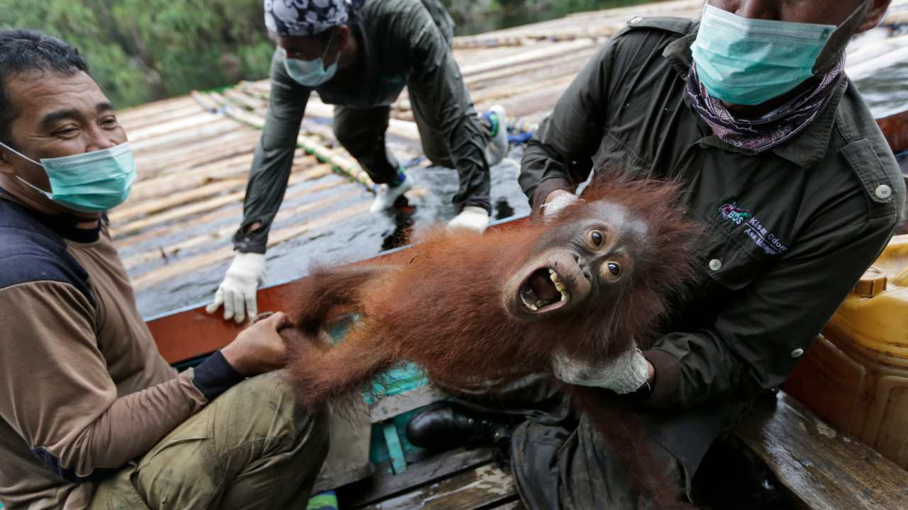 Indonesian orangutans airlifted back into the wild after COVID-19 threat subsides