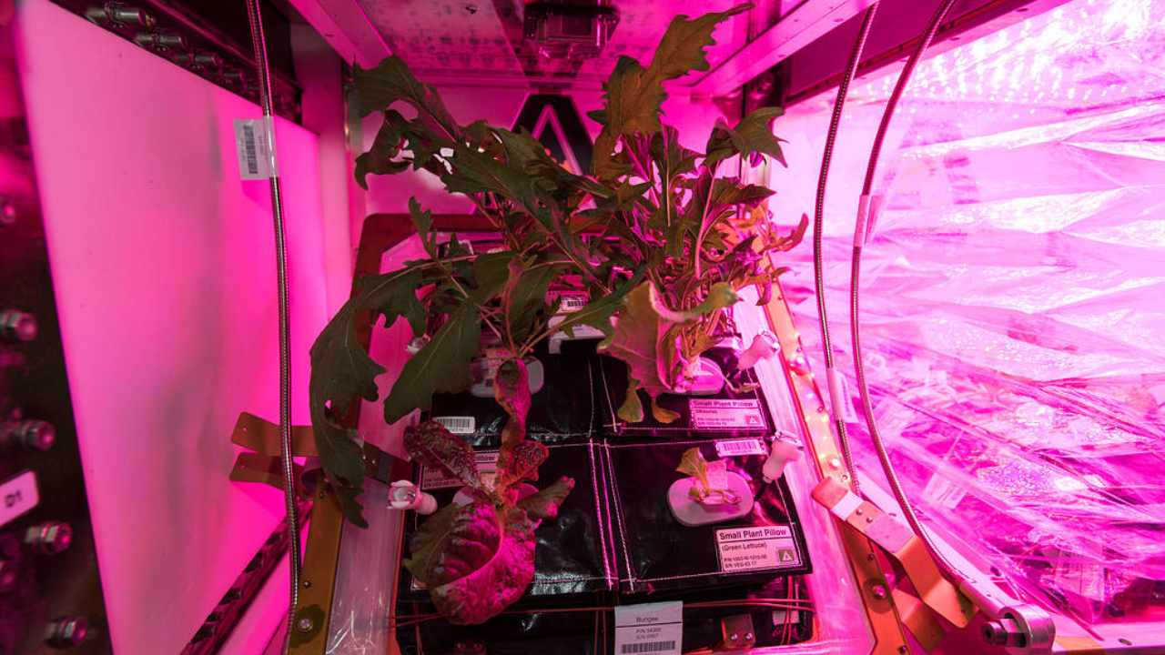 The crew aboard the space station are growing many batches of mixed greens (including mizuna, red romaine lettuce and tokyo bekana cabbage). There are multiple veggie facilities simultaneously running at any given time. Image: NASA