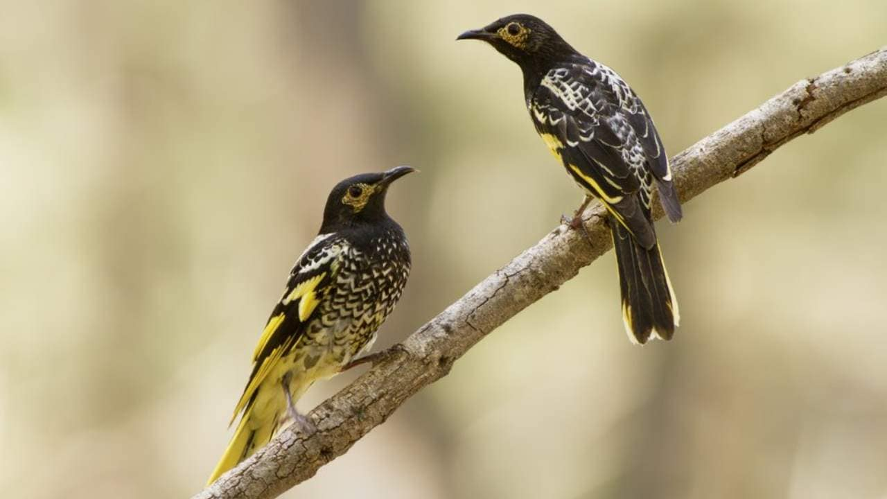 Endangered birds losing their songs make it tough to find mates, train their young, experts say