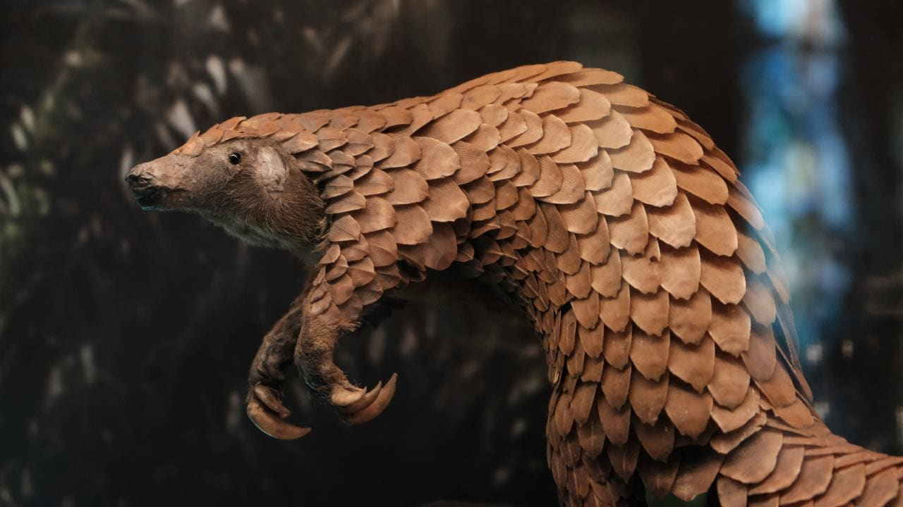 Pangolins are believed to be the world's most trafficked mammal, accounting for as much as 20% of all illegal wildlife trade.