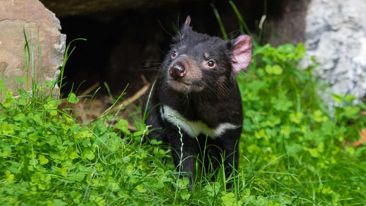 For the first time in 3,000 years, Tasmanian devils were born in the wild in Australia. Image credit: Flickr/Mathias Appel
