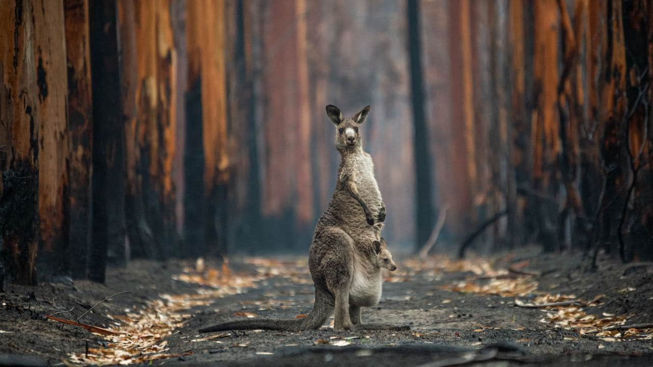 Canadian photographer Jo-Anne McArthur Hope's image titled - Hope in a Burned Plantation - was the Grand Prize winner of the 2021 Big Picture Competition with her image of a kangaroo that had paused in the middle of a burned eucalyptus plantation during the Australian bushfires of 2019 and 2020.