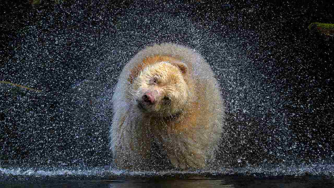 The winner of the Terrestrial Wildlife category was wildlife Canadian photographer Michelle Valberg and her image titled 'Boss' that captures a spirit bear, one of a few hundred white bears. The image was captured mid-head shake after he was searching for salmon roe in a river