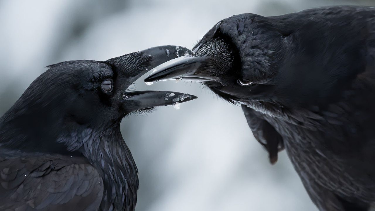 Self-taught photographer Shane Kalyn won the Winged Life category with his image titled 'Beak to Beak' that captures two ravens inspecting the other's beaks after they were done preening each other's feathers.