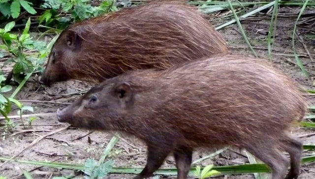 Indian conservationists release a dozen of the world's smallest pygmy hogs into the wild