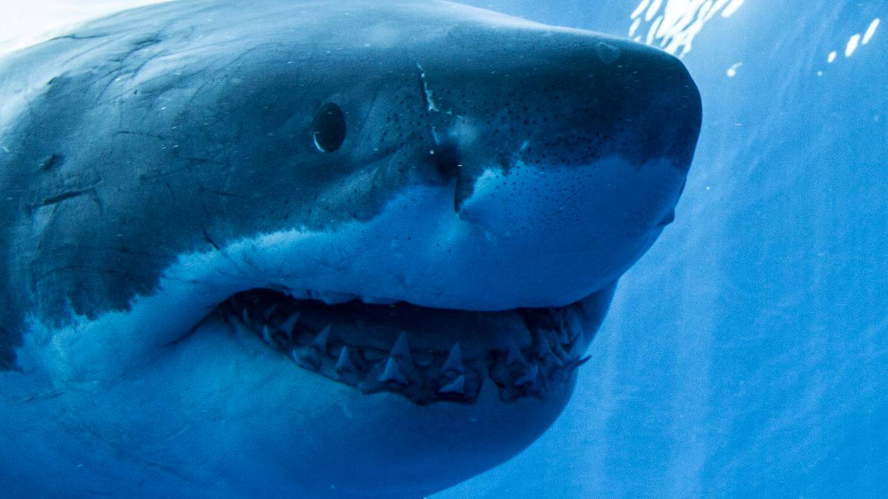 The now-extinct sand tiger shark species Striatolamia macrota was once a constant in the waters around the Antarctic Peninsula, and it left exquisitely preserved fossil teeth on what is now Seymour Island near the tip of the peninsula. Image credit: WIkipedia