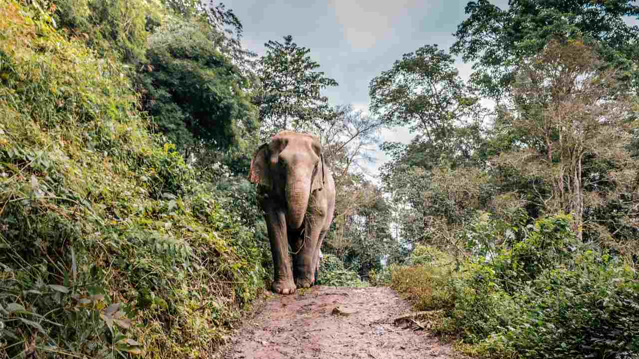 A population size estimate conducted in 2018, showed there is a global Asian elephant population of 48,323–51,680 elephants in the wild.