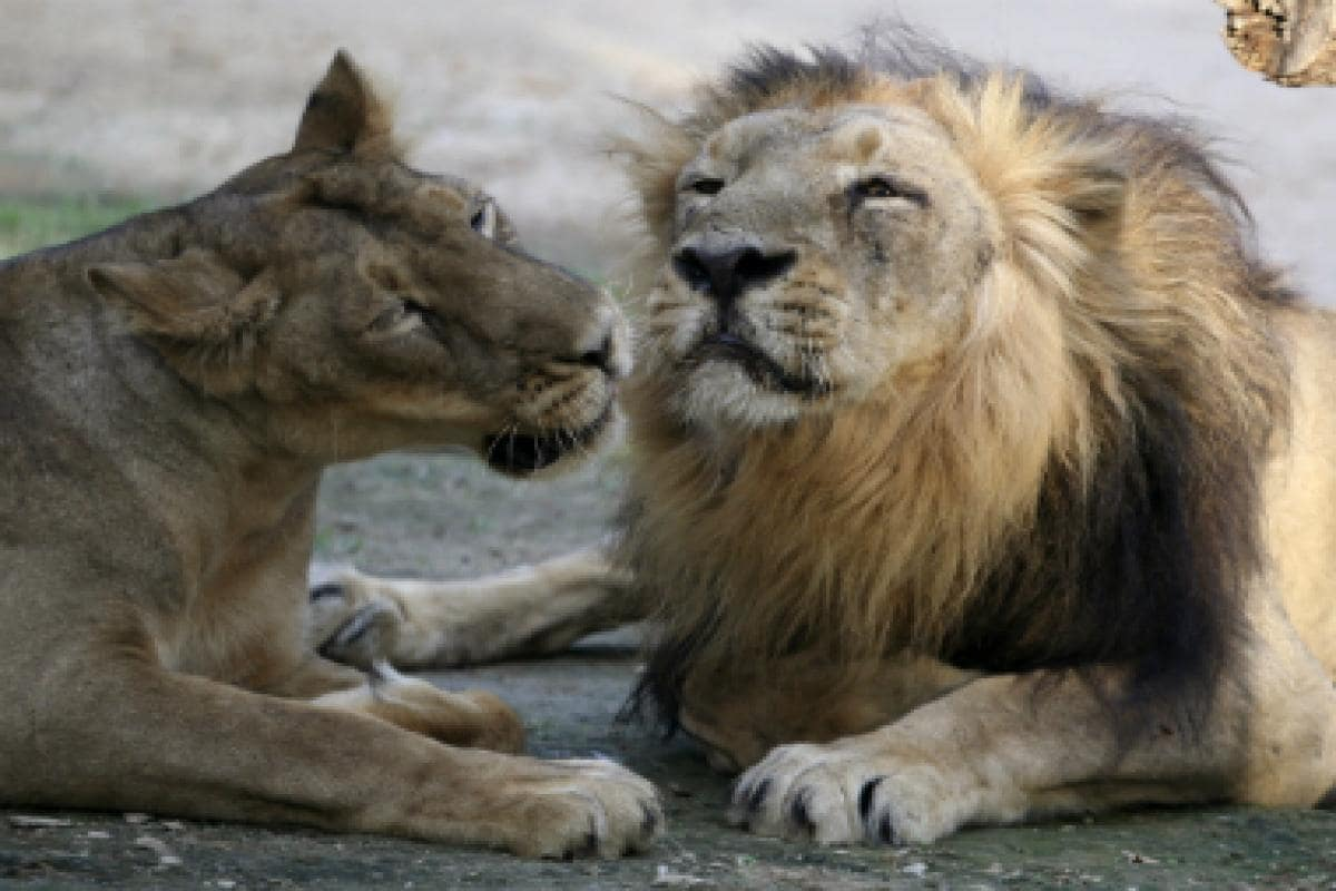 Gir Forest lion toll rises to 23