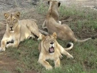 'Impossible to vaccinate all 500 lions in Gir,' says senior Gujarat official; forest department unsure what killed 23 big cats
