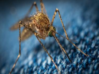 Mosquitoes fight off malaria parasites at various stages of development: Research