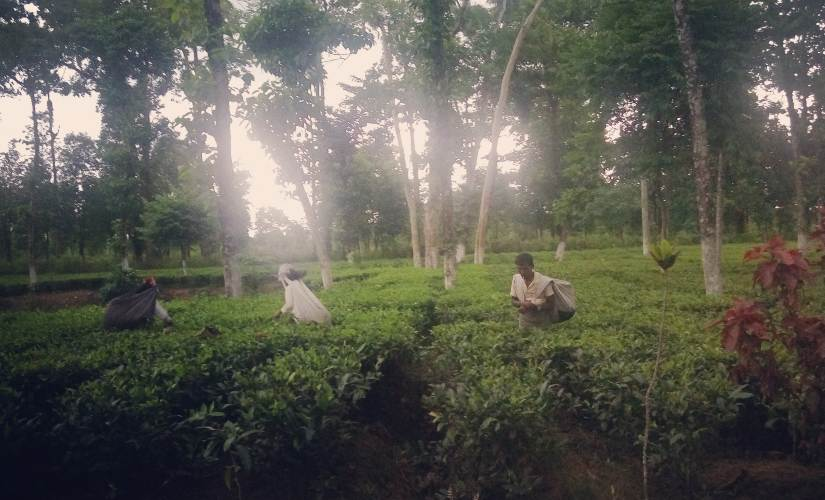 Adivasis and the Indian State: Abysmal wages, ineffective labour unions leave tribal tea garden workers high and dry