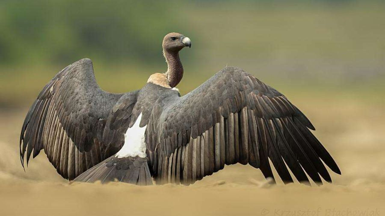 Eight critically-endangered Indian vultures to be released into the wild next year