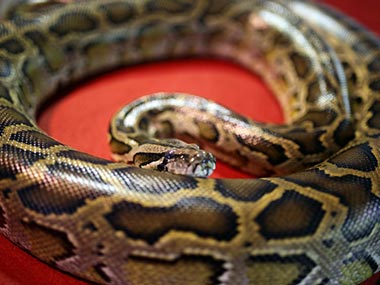 Indonesian woman who went missing found inside seven-metre-long Python in Muna island