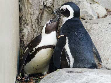 Toronto zoo to separate a pair of gay penguins