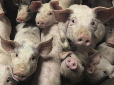 Pigs and Humans share 112 DNA mutations, say scientists