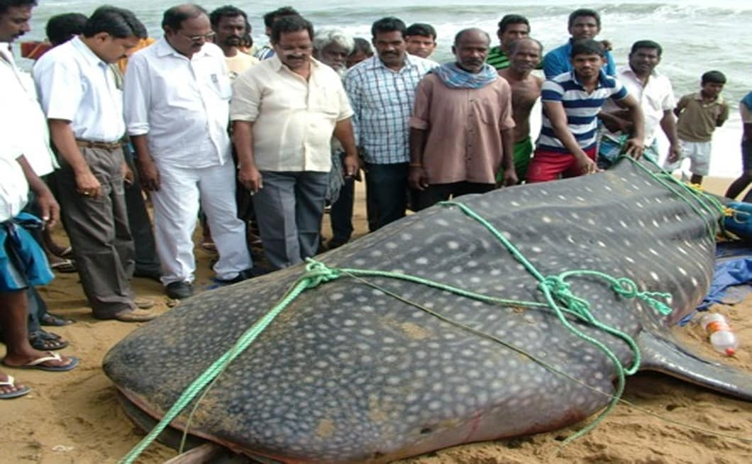 Fishermen thought they could get a large sum of money by selling the teeth of the big fish that weighed over 1500 kgs. Firstpost