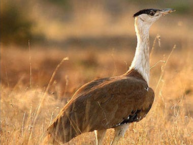 How protecting Great Indian Bustard can save other endangered species