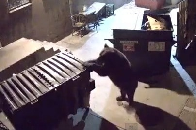 Viral video: Bear wheels an entire dumpster away from a restaurant