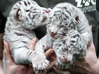 NTCA says no to reintroduction of white tigers in Madhya Pradesh