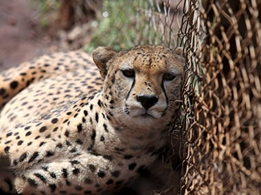 Cheetahs could be back in India if govt clears Rs 260 cr WII project