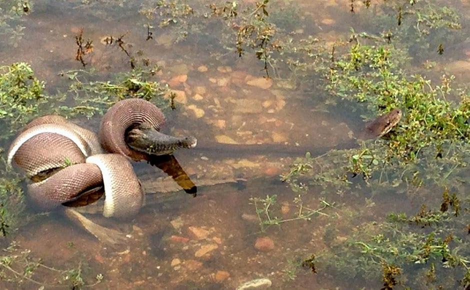 03_Snake-eats-crocodile-after-battle