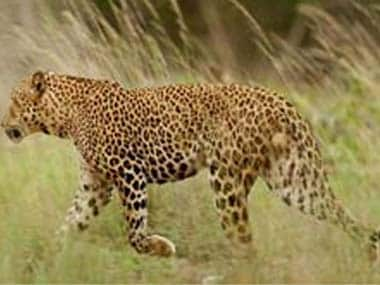 Uttarakhand woman survives attack, kills leopard with sickle