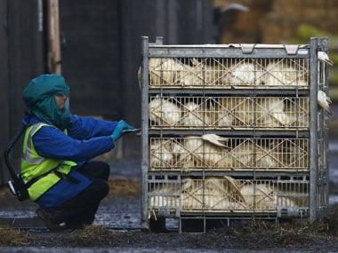 Bird flu scare: Kerala begins culling of four lakh ducks