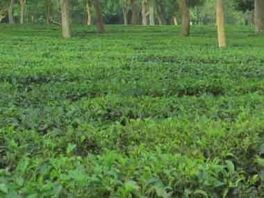 An upper Assam tea garden. Firstpost