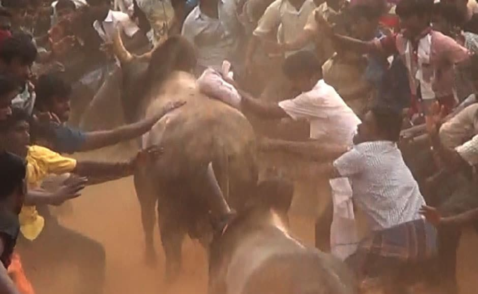 Spectators hit bulls and pounce on them in the collection area in Avarankadu on 17 January, 2014. Image courtesy: PeTA India