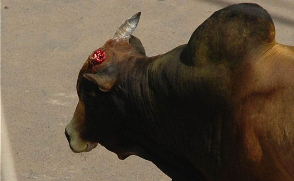 This bull's horn was broken in Avaniapuram on 15 January, 2012. Image courtesy: PeTA India