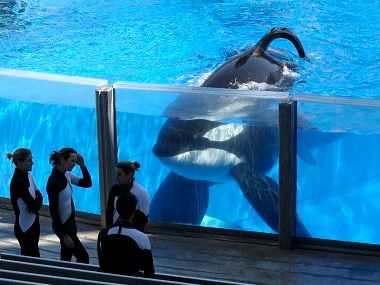 File photo of killer whale Tilikum at SeaWorld Orlando. AP