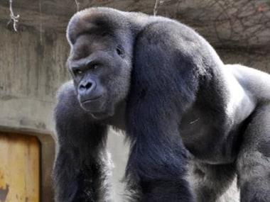 Gorilla_ibnlive