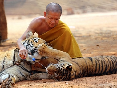 "File image of a Thai Buddhist monk giving water to a tiger from a bottle at the ""Tiger Temple"" in Saiyok district in Kanchanaburi province. AP"