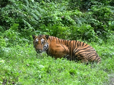 Tiger safari in Pench violates laws, will lead to poaching: Conservation body