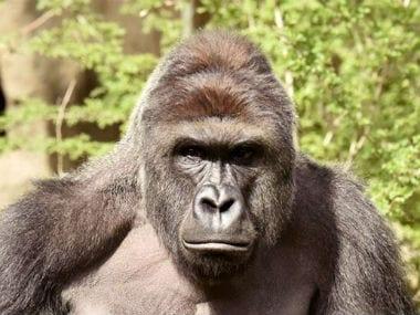 the victim gorilla Harambe. Reuters.