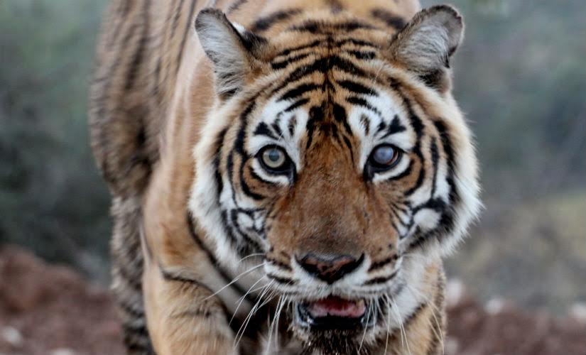 Machhli, Queen of Ranthambore and perhaps the most photographed tigress on earth: An obituary