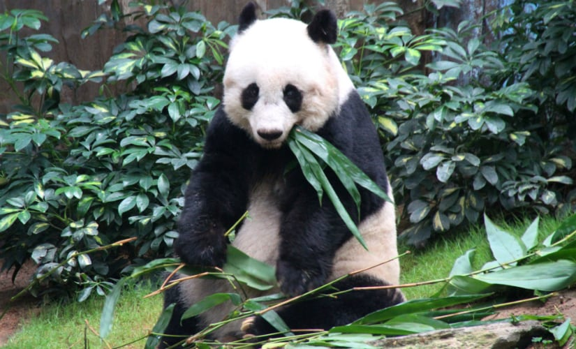 Jia Jia, worlds oldest giant panda, dies at 38; age equivalent to 114 human years