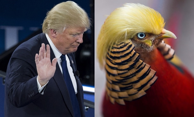 China finds Donald Trump lookalike: Bird with US President-elects hairstyle attracts crowd