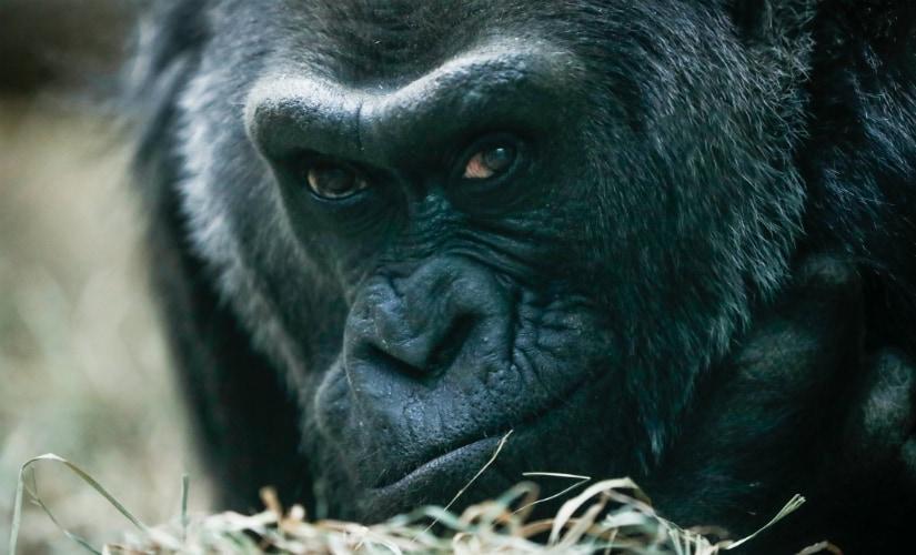 US' oldest gorilla turns 60: Mom of 3, grandma of 16, great-grandma of 12 and great-great-grandma of 3