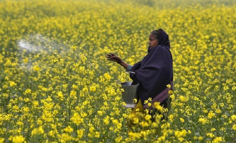 A farmer casts urea on her mustard field. Reuters