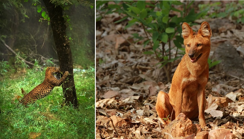 Leopard; wild dog. Photos courtesy Bamboo Forest Lodge