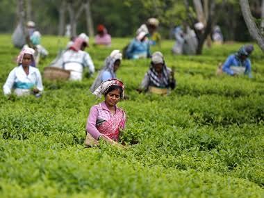 Darjeeling shutdown: Tea production seen taking 20% hit; revenue likely to fall 40%