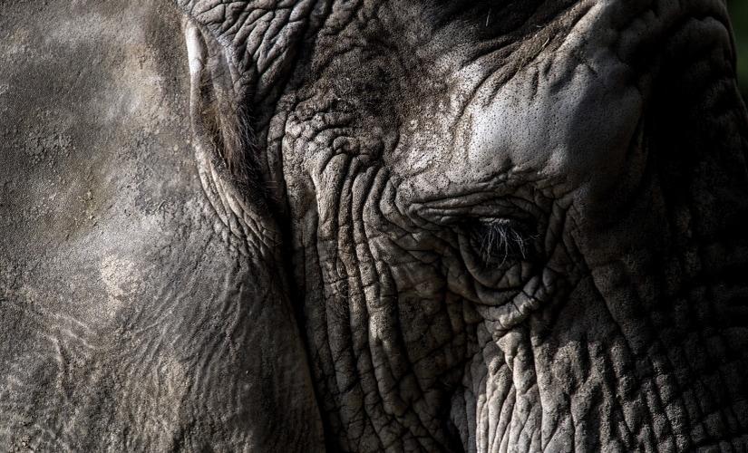 Elephant AP 825
