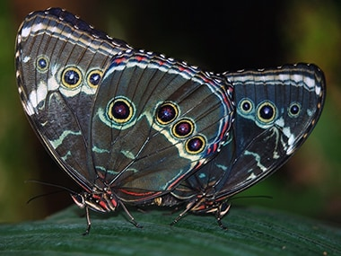 STRI researchers edit butterflies by rewiring the gene that influences wing patterns