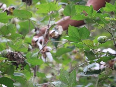 Yavatmal cotton farmer deaths Part 1: Blame games galore as toxic pesticides continue to claim lives