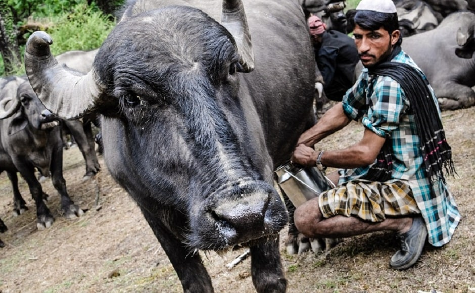 For 44 days, Benanav followed the Van Gujjars on their spring migration from the jungles at the foothills of the Shivalik Hills to the lush pastures high up in the mountains. Here, Chamar milks one of the buffaloes. The milk is the only source of income for the Van Gujjars. Photograph by Michael Benanav