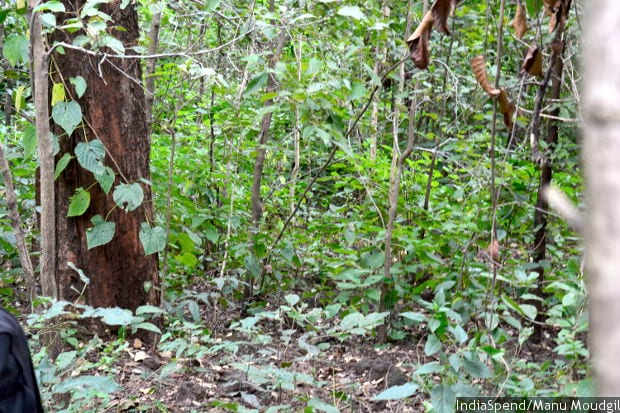 Mehul, the largest creeper of India, had become scarce in the forest of Pondi village, Madhya Pradesh. It is now abundantly available thanks to efforts of villagers who studied the bio wealth of their area and implemented conservation practices.