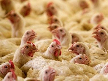 Bird flu scare in Bengaluru: 900 fowls culled after H5N1 avian influenza virus is detected; Karnataka govt starts awareness campaign