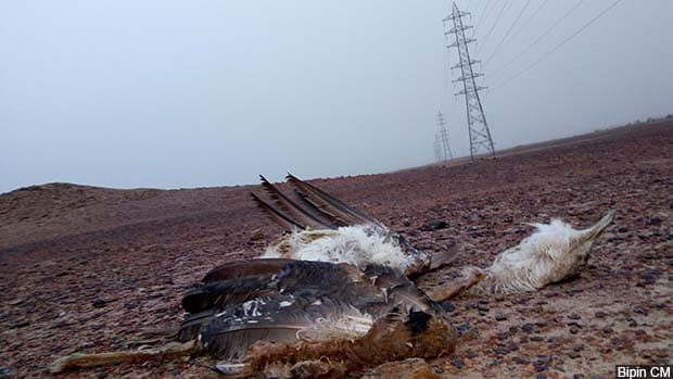 On 29 December, 2017, in Khetloi village, Rajasthan, forest officials found the dismembered carcass of a great Indian bustard–the second killed by power lines in December 2017, and the ninth over the previous decade.